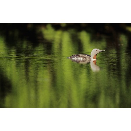Loon Pond (Alaska Red Throated Loon (Gavia Stellata) Swims On A Green Pond Stretched Canvas - John Hyde  Design Pics (34 x)