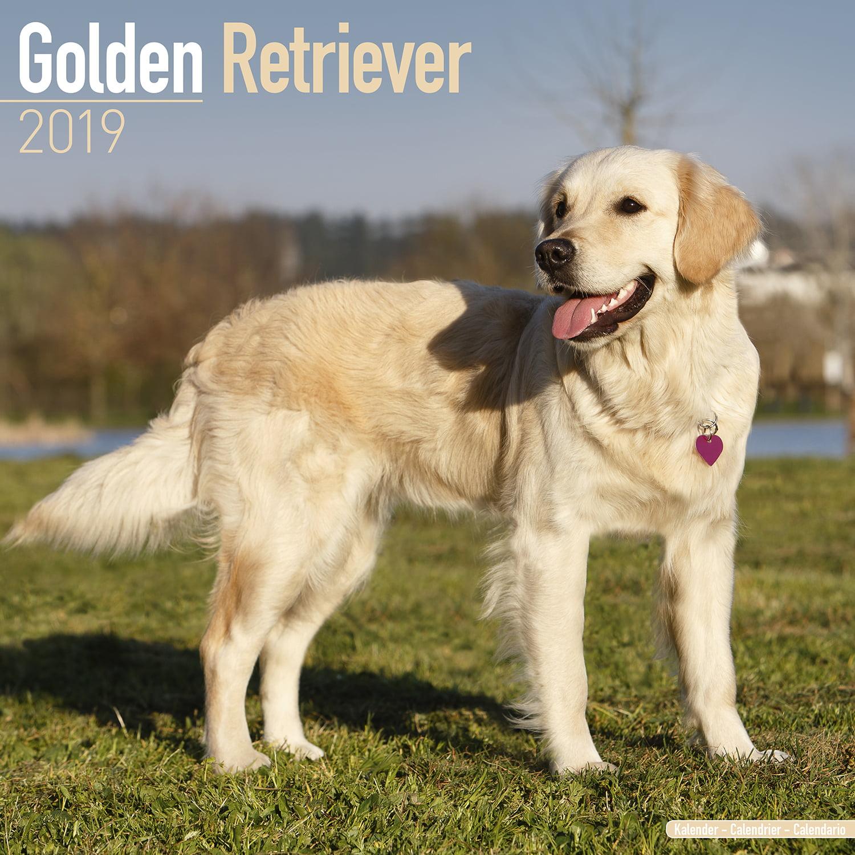 Golden Retriever Calendar 2019 - Golden Retriever Dog Breed Calendar - Golden Retrievers Premium Wall Calendar 2018-2019