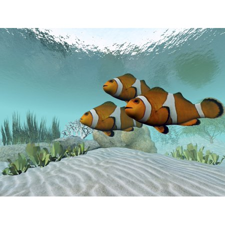Three Clownfish Swim Together And Watch For Predators Canvas Art   Corey Fordstocktrek Images  32 X 24
