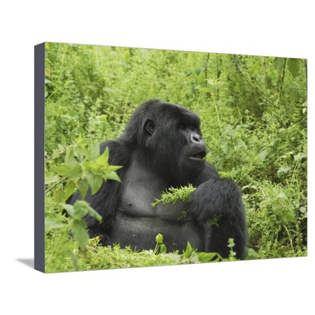 Silverback Mountain Gorilleating, Holding Plants in its Hand (Gorilla Beringei Beringei) Stretched Canvas Print Wall Art By Thomas Marent