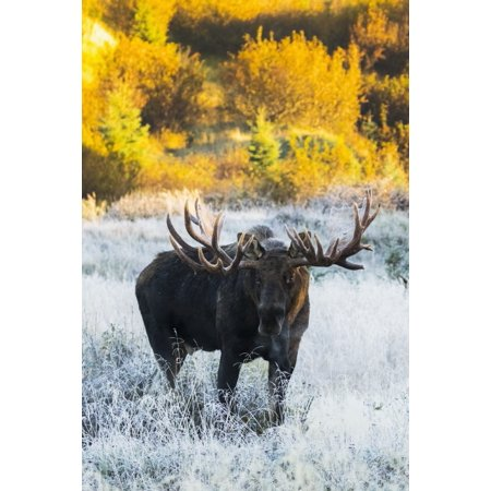 Bull moose in a frosty field in autumn at sunrise on a cold morning South-central Alaska Anchorage Alaska United States of America Poster Print by Doug Lindstrand  Design - Good Morning America Halloween Pics