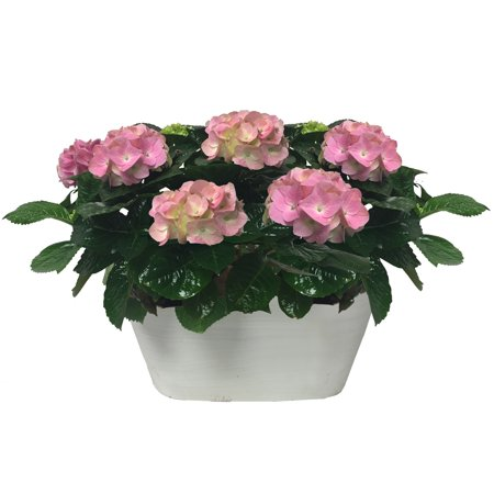 One Floral Valentine's Day 2x0.87qt Hydrangea Plant