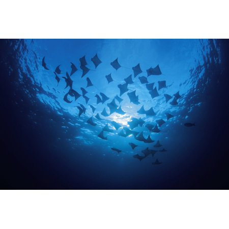 Ecuador School Of Cownose Rays  Rhinoptera Steindachneri  Swimming Close To Water Surface Galapagos Islands Canvas Art   Dave Fleetham  Design Pics  36 X 24
