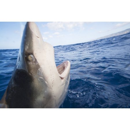Posterazzi Galapagos Shark  Carcharhinus Galapagensis  Can Reach Twelve Feet In Length And Is Listed As Dangerous Hawaii United States Of America Canvas Art   Dave Fleetham  Design Pics  34 X 22