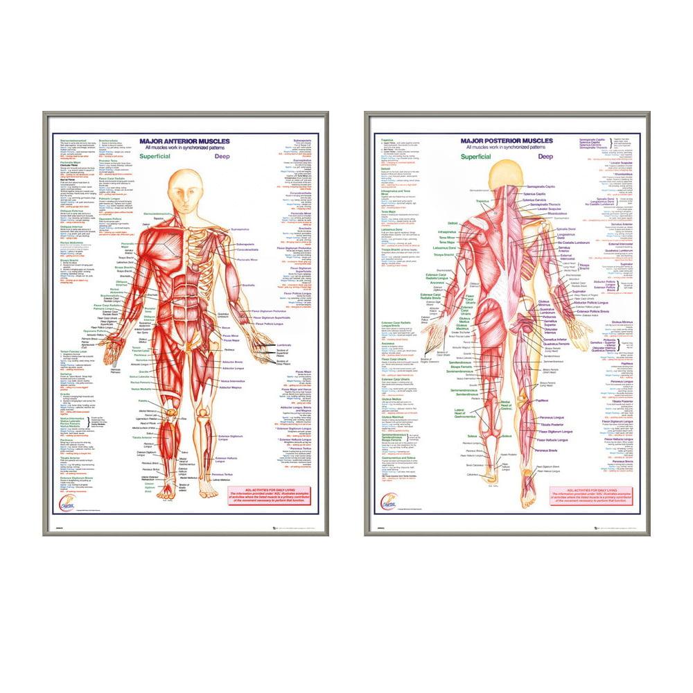 The Human Body - 2 Piece Medical / Educational Poster / Print Set ...