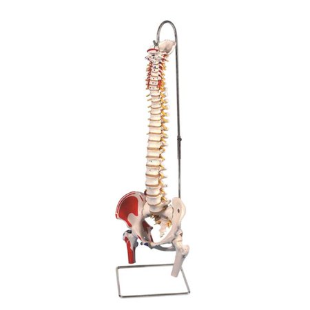 Anatomical Model - Classic Flexible Spine with Femur Heads & Muscles ()