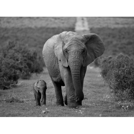 Mother and Calf, African Elephant (Loxodonta Africana), Addo National Park, South Africa, Africa Black and White Photography Print Wall Art By Ann & Steve Toon