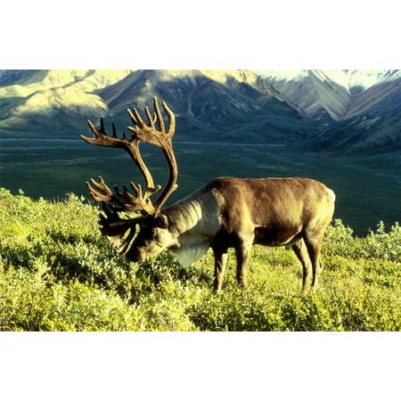 Laminated Poster Caribou Nature Reindeer Deer Antlers Point Buck Poster Print 24 x 36 - Bulk Reindeer Antlers