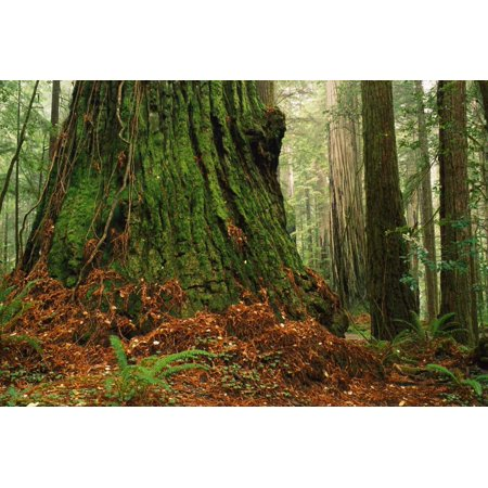 Coast Redwood old-growth tree in forest Pacific Coast North America Poster Print by Gerry