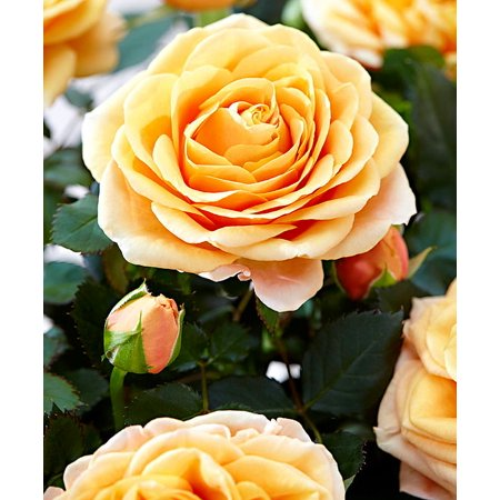 Rose Miniature Patiohit® 'Brandi' - Everblooming/Fragrant - 4