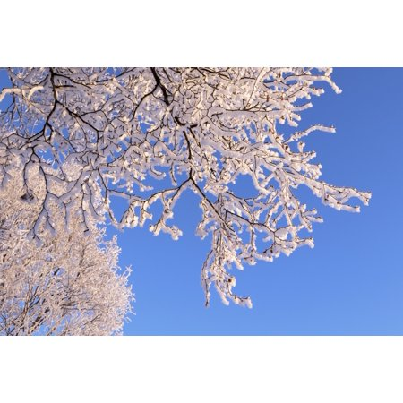 Hoar frosted tree branches against a blue sky Anchorage Alaska United States of America Poster Print by Doug Lindstrand  Design