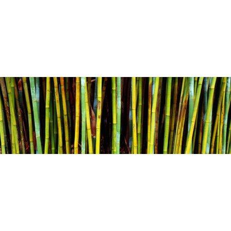 Bamboo Trees in Botanical Garden, Kanapaha Botanical Gardens, Gainesville, Alachua County, Florida Print Wall Art By Panoramic