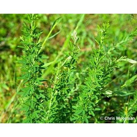 Sericea Lespedeza Seed (Hulled) - 5 Lbs.