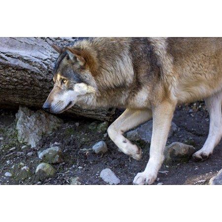 Profile Portrait (LAMINATED POSTER Portrait Canis Lupus Wolf Predator Profile Poster Print 24 x 36 )