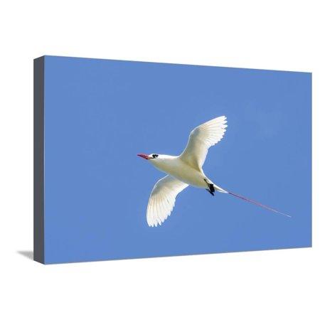 - Red-Tailed Tropicbird, Kilauea Point National Wildlife Refuge, Kauai, Hawaii Stretched Canvas Print Wall Art By Michael DeFreitas