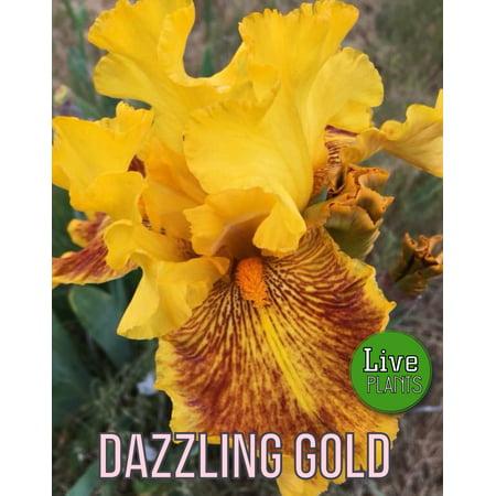 - 1981 Anderson - Dazzling Gold - Tall Bearded Iris Rhizome (1 Rhizome)