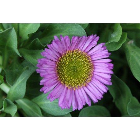 Canvas Print Fleabane Daisy Border Perennial Flower Erigeron