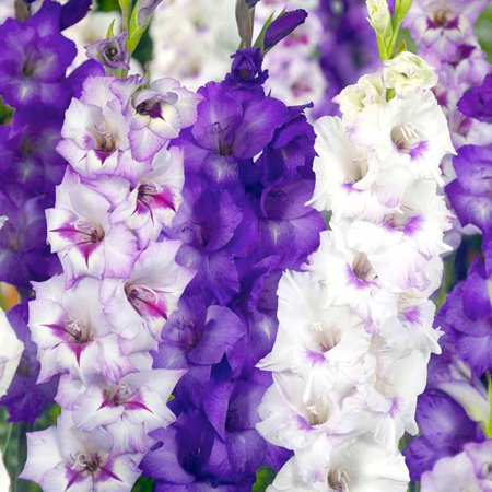 Image of Gladiolus Purple And White