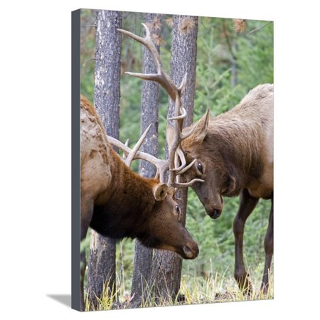 Two Male Elk (Cervus Canadensis) Clash Antlers in a Fight for Dominance and the Right to Mate Durin Stretched Canvas Print Wall Art By kelly