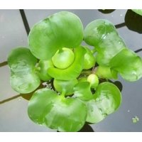 Water Hyancinth - Floating Live Pond Plant
