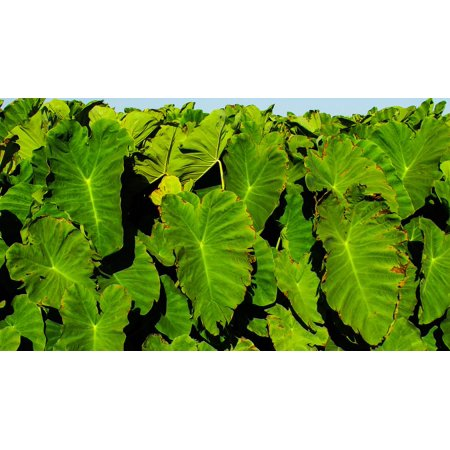 Peel-n-Stick Poster of Leaves Vegetable Taro Food Sotira Traditional Poster 24x16 Adhesive Sticker Poster Print
