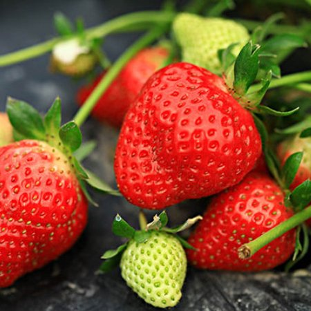 Sonew 300Pcs/Pack Super Large Strawberry Seeds Home Garden Red Color Sweet Delicious Fruit Plant, Strawberry Seeds, Delicious Strawberry Seeds - image 7 of 7