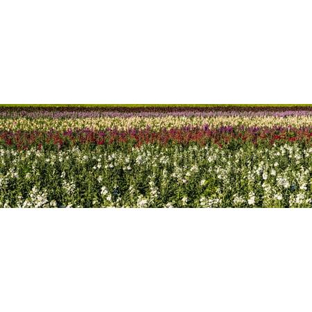Sweet Pea Wedding Flowers - Sweet pea flowers in a field, Lompoc, Santa Barbara County, California, USA Print Wall Art
