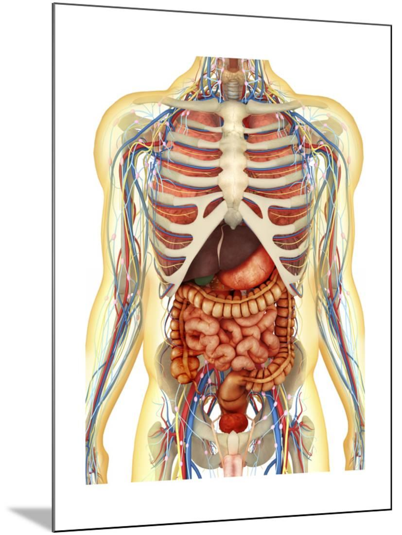 Human Body With Internal Organs Nervous System Lymphatic System