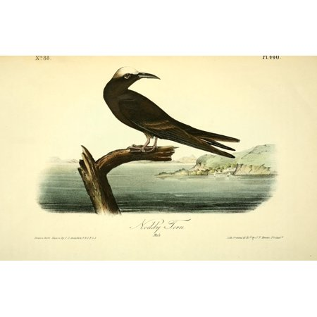 Birds of America 1844 Noddy Tern Canvas Art - JJ Audubon (24 x 36)