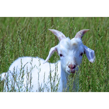 Canvas Print Nature Baby Cute Goat Kid Farm Young White Stretched Canvas 10 x - Goat Farm Arts Center Halloween
