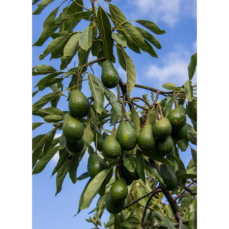 LAMINATED POSTER Avocados Tree Green Branch Sky Hass Avocado Fruit Poster Print 24 x 36