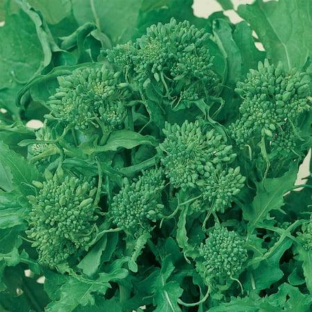Broccoli Raab Seeds - Spring Rapini - 4 Oz - Organic, Non-GMO, Heirloom - Vegetable Garden, Micro Greens
