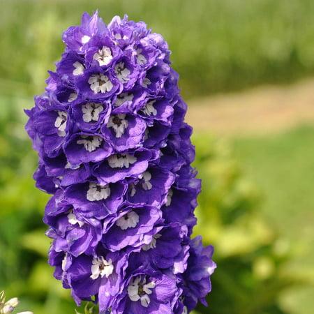 Delphinium Magic Fountain Series Flower Seeds Lavender 1000