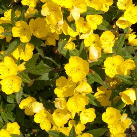 Dwarf Evening Primrose Flower Garden Seeds 4 Oz Perennial Flower