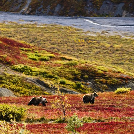 Grizzly Bears And Fall Colours Denali National Park Alaska - Grizzlies Colors