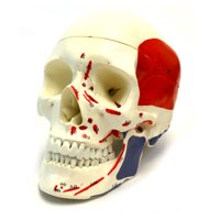 hBARSCI Muscular Numbered Human Skull Anatomical Model, Medical Quality, Life Sized, Muscle Painted, 3 Parts