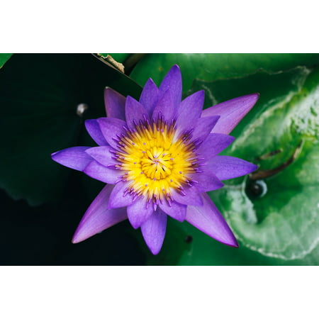 iPhone XS Max Plastic Case Cover with Lily Pads Pond Flower Water Lily Purple Picture Printed on - Plastic Lily Pads