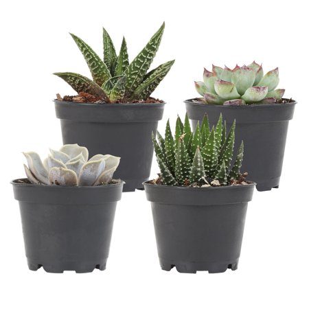 Delray Plants Succulent Orted Species Easy To Grow Live House 4 Inch Black Grower S Pot Pack