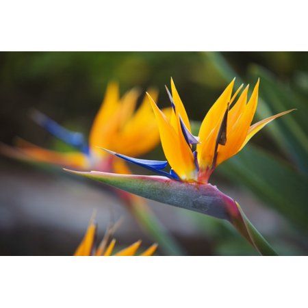Hawaii Maui Bird Of Paradise Blossoms Stretched Canvas - Ron Dahlquist  Design Pics (17 x - Design Gown