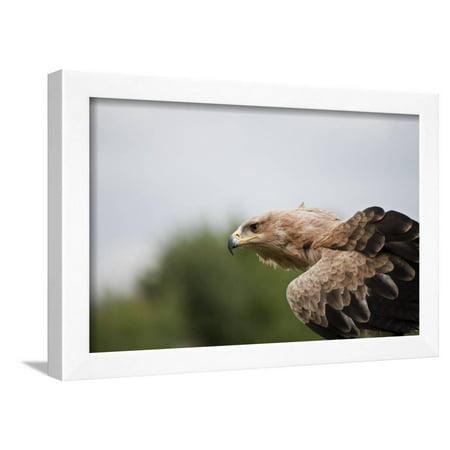 Tawny Eagle - Portrait of Tawny Eagle Looking for Prey Framed Print Wall Art By Veneratio