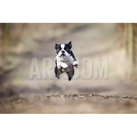 Beautiful Fun Young Boston Terrier Dog Trick Puppy Flying Jump and Running Crazy Print Wall Art By Best dog