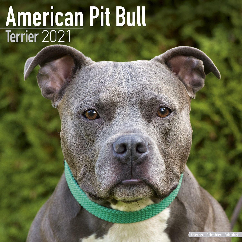American Pit Bull Terrier Calendar 2021   American Pit Bull