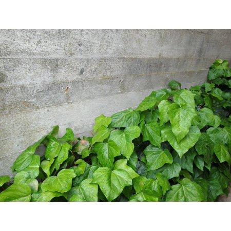 Canvas Print Masonry Wall Ivy Concrete Concrete Wall Green Stretched Canvas 10 x 14