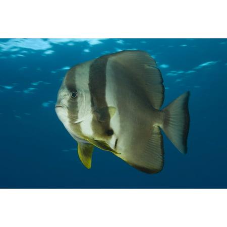 Longfin Spadefish Papua New Guinea Canvas Art   Steve Jonesstocktrek Images  35 X 23