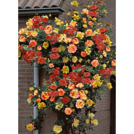 Rose Print Vest (Biblical Joseph's Coat Climbing Rose - Very Hardy - 4
