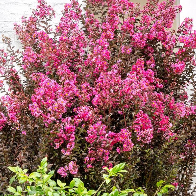 Delta fusion crape myrtle dark pink blooms live plants walmart nvjuhfo Choice Image
