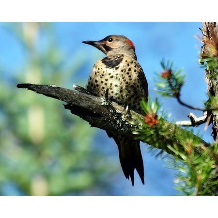 Canvas Print Flicker Bird Northern Woodpecker Northern Flicker Stretched Canvas 10 x (Northern Flicker Woodpecker)
