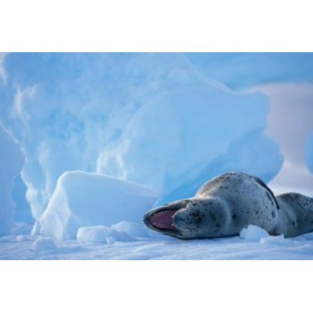 Antarctica Boothe Isl Lemaire Channel Leopard Seal Canvas Art - Paul Souders  DanitaDelimont (36 x 24)