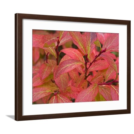 Huckleberry bushes turn red in early fall, Stillwater State Forest, Montana, USA Framed Print Wall Art By Chuck Haney Early White Bush Scallop