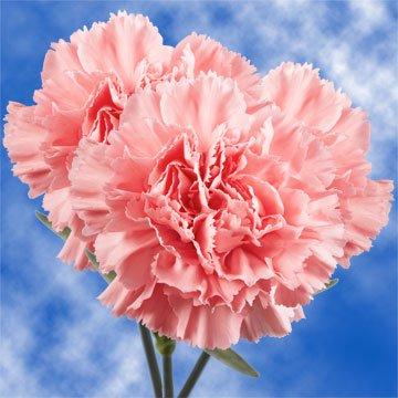 GlobalRose 200 Fresh Cut Pink Carnations - Fresh Flowers Wholesale Express (Pink Carnation)